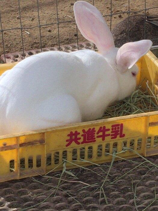 六甲山牧場には他にも多くのウサギがいます