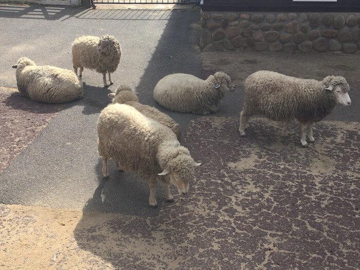 六甲山牧場の多くの羊
