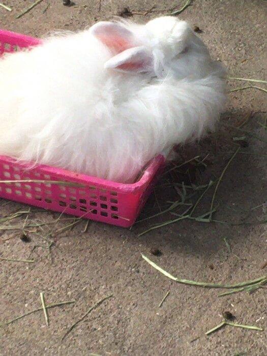 毛でみっちりとなっている日本アンゴラウサギ
