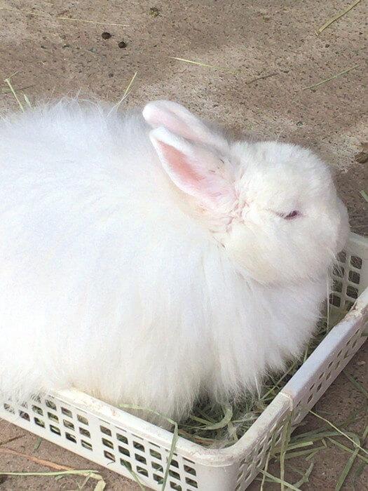 箱でジッとする日本アンゴラウサギ