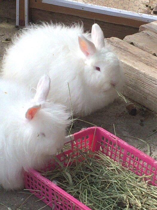 草を食べる日本アンゴラウサギ