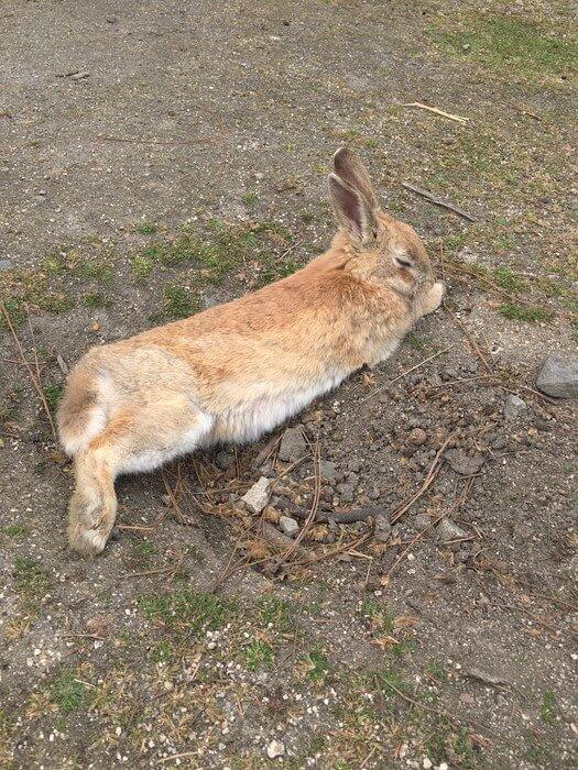 お昼寝ウサギ