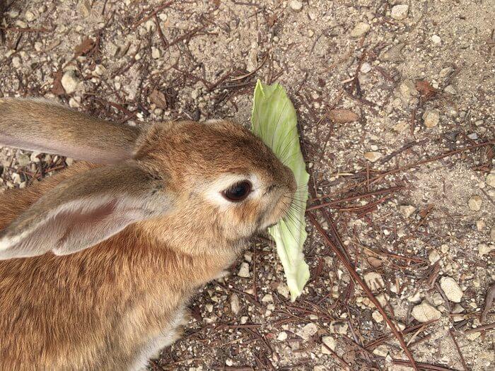 必死にキャベツを食べるウサギ